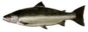 Rick-Jacobson-Atlantic-Salmon