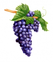 Rick-Jacobson-Zin-Grapes-hi-res